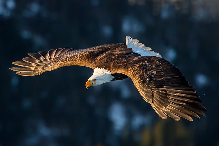 Bald Eagle Soaring with Wings Expanded