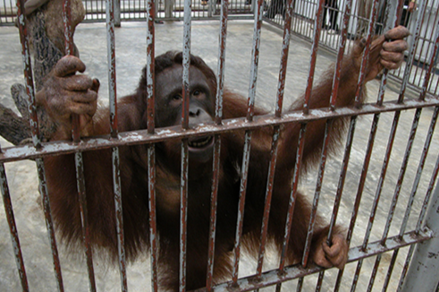 Illegally Imported Orangutan