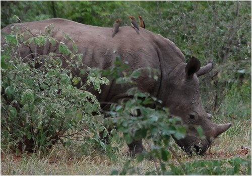 Stock image of a rhinoceros in the wild.