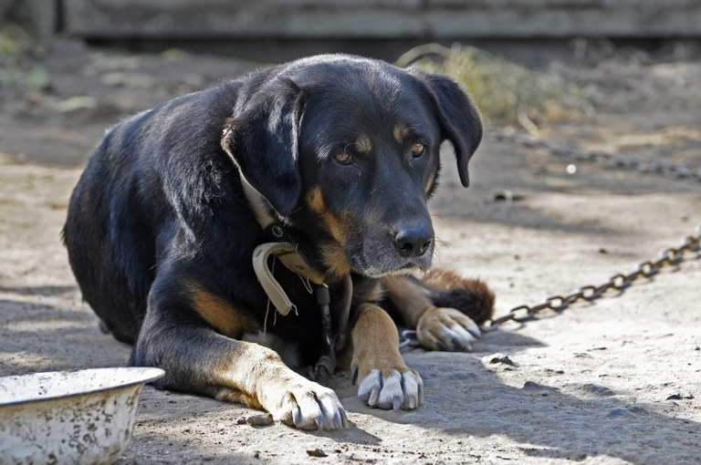 A stock photo of a chained dog.
