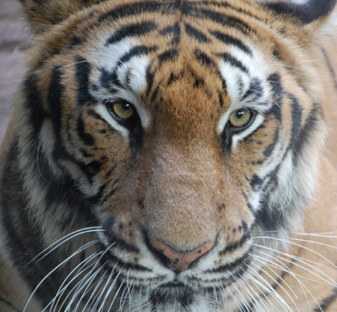Close-up of a tiger.